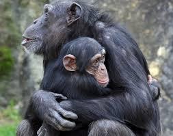 chimp mother