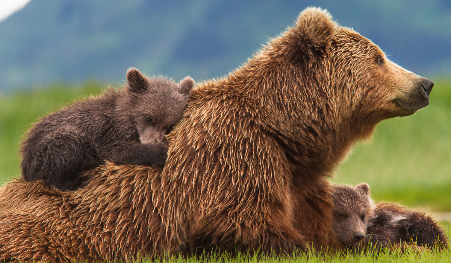 Bears, Disneynature